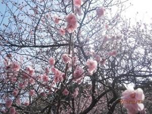 袖ヶ浦公園の梅ちゃん、もう少しで満開でーす♪