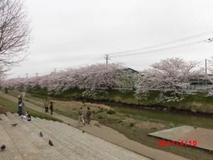 ドンピシャ桜🌸