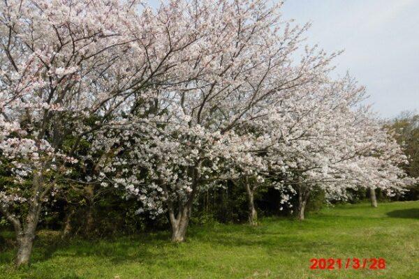 大きな桜の木の下で・・・
